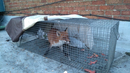Fox Rescued from Rooftop