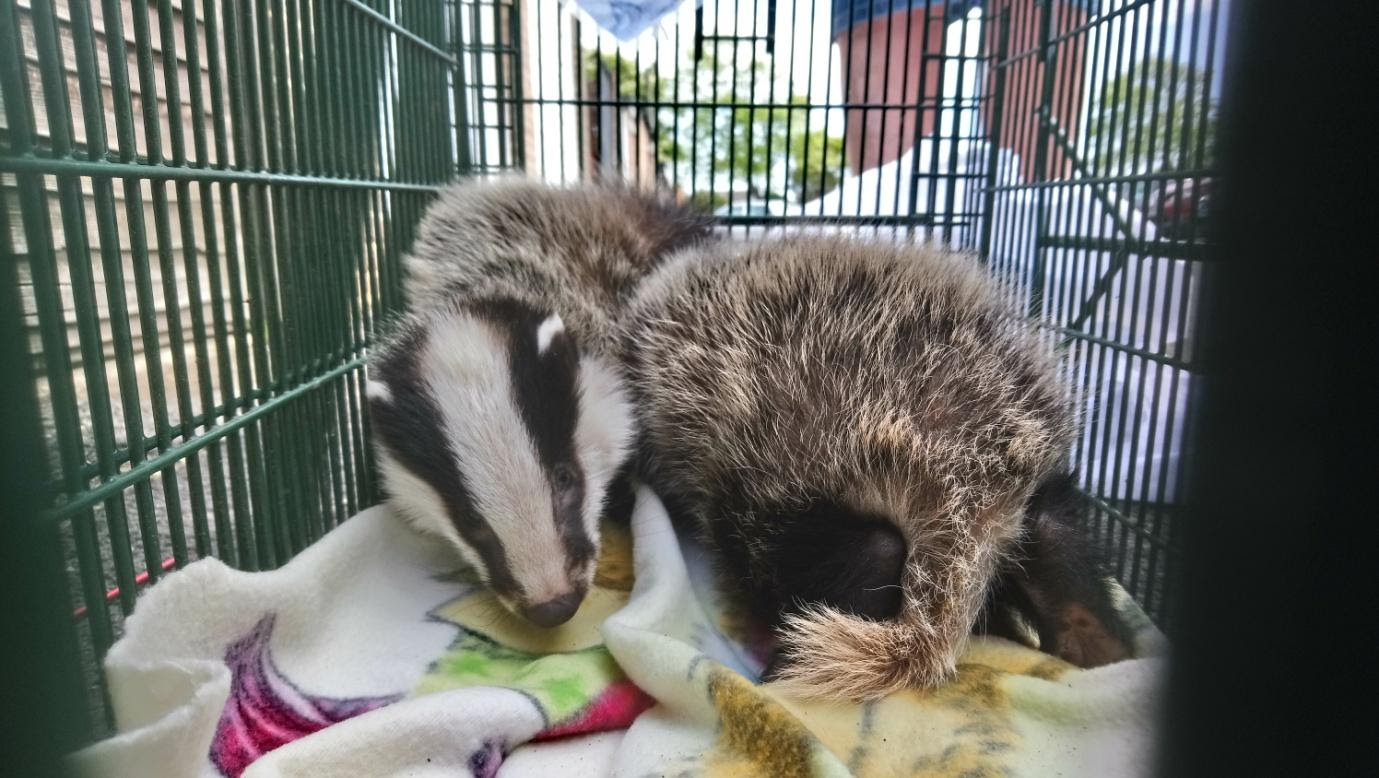 West Sussex Wildlife Protection badgers