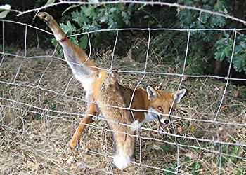 Fox caught in barbed wire rescue West Sussex
