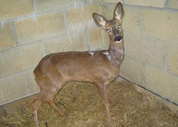 Rescued deer in West Sussex