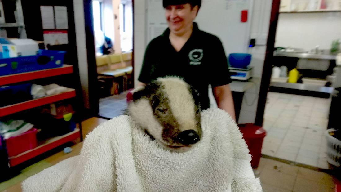 West Sussex Badger Cub rescued